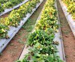 Area under organic farming along Ganga increases four-fold