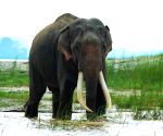 Assam to create nine elephant corridors