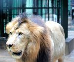 Bengaluru zoo gifts 3 lions to Belagavi zoo