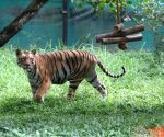 With 200 Tigers, population of big cats in Assam rise to double