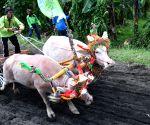 INDONESIA BALI BUFFALO RACE