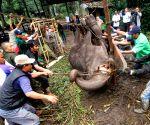 INDONESIA BANDUNG SUMATRA ELEPHANT DYING