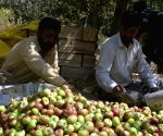 Kashmiri apple growers send 6 lakh tons of apples outside