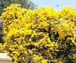 Tabebuia flowers bloom at the Vidhan Soudha