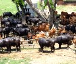 Police, BSF foil attempts of cattle smuggling