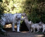 Three Bengal tiger cubs play with their mother Cleo in the Zoo of Buenos Aires