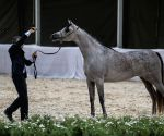 EGYPT CAIRO ARABIAN HORSE CHAMPIONSHIP