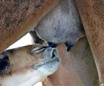 Amul launches camel milk in select markets