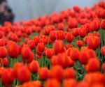 Asia's largest Tulip gard