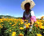 CHINA HEBEI CHENGDE GLOBEFLOWERS