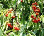File Photo: Srinagar: Cherry