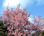 Cherry blossoms spread tranquility in the northeast (Environmental Feature) ()