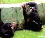 Chimpanzees at  Alipore zoo