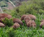 China's migrating elephants head further south