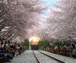 ROK-CHANG WON-CHINHAE-CHERRY BLOSSOM FESTIVAL