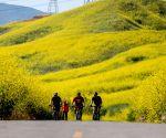 U.S.-CHINO HILLS-MUSTARD FLOWERS