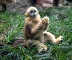 CHINA CHONGQING GOLDEN SNUB NOSED MONKEY