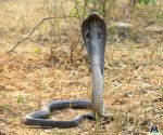 Free Photo: Deadly cobra comes home for dinner!