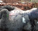 Free Photo: Death of 18 elephants in Assam due to 'lightning' : Govt Probe panel