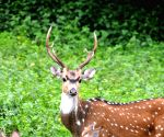 Deer's plays at Bandeepura National Park