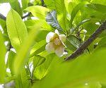 Dhaka (Bangladesh): 'Chalta' flower