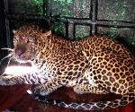 Eight year old leopard was trapped in a cage set up by a forest team at Kammanahalli in KR Pet Taluk on Saturday 27th February 2021