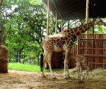 Mysuru's Chamarajendra zoo turns breeding centre for giraffes