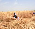 Farmers harvests wheat at a field, as coronavirus cases spike across the country, in Patna