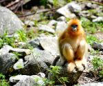 CHINA SHAANXI FOPING GOLDEN MONKEY