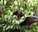 Bats died in UP due to brain stroke: IVRI report