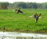 : (060317) Mangalajodi: Mangalajodi wetland