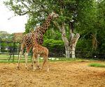 Giraffe Lakshmi gives birth to male calf in Mysuru Zoo
