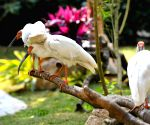 CHINA GUANGDONG CRESTED IBIS