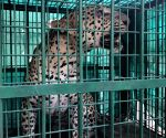 Female leopard that killed boy, trapped
