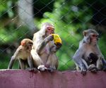 Himachal to hold race to log marauding monkeys