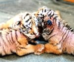 CHINA HARBIN SIBERIAN TIGER PARK CUBS