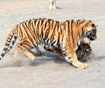 CHINA HEILONGJIANG HARBIN SIBERIAN TIGERS