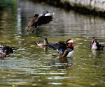 CHINA HARBIN MANDARIN DUCK MIGRATION
