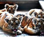 CHINA HARBIN SIBERIAN TIGER BREEDING
