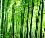 Huoshan, hometown of bamboo, has developed into a manufacturing base for bamboo industry and a tourist spot for bamboo forests
