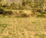 Himachal farmers turn garlic to cash crop