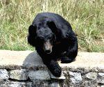 File Photos: Himalayan black bear