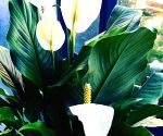 Free Photo: Forget air purifier, try Peace Lily at home as air gets toxic