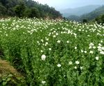 Free Photo: In 17-hour-long operation, 15 lakh poppy plants seized in Himachal.