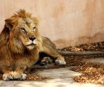 313 lions died in Gujarat in 2 years