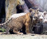 CHINA SHANDONG JINAN TIGER TRIPLETS