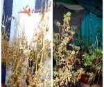Free Photo: K'taka police unearth Hydro Ganja factory in villa, seize Rs 1 crore worth of drugs