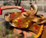 NEPAL KATHMANDU TIHAR COW