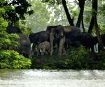 On way home: Tuskers tranquilised, head for Pilibhit forest