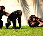 Chimpanzees enjoy themselves